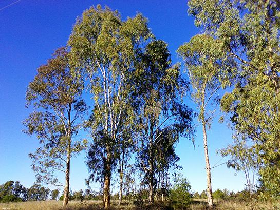 Okaliptus ağaçlar ile ilgili görsel sonucu